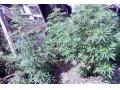 В Харцызске изобличили наркозависимого горожанина в культивировании конопли